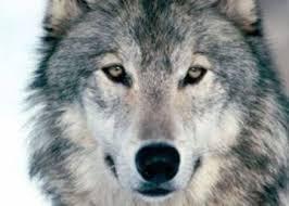 Los Valores del Lobo   Liderazgo y Pertenencia